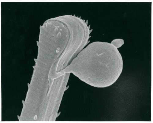 Asterionella formosa