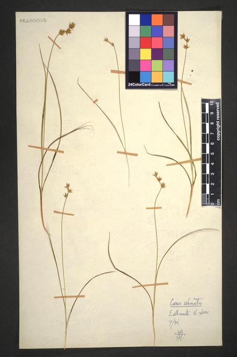 Carex echinata