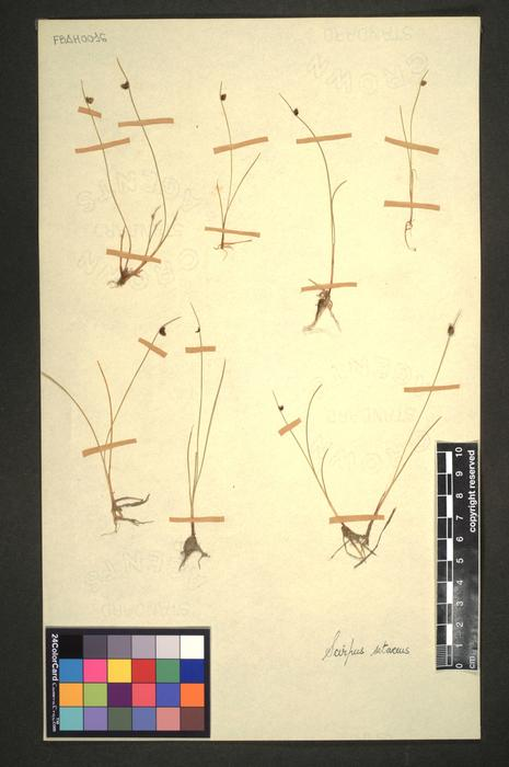 Isolepis setacea