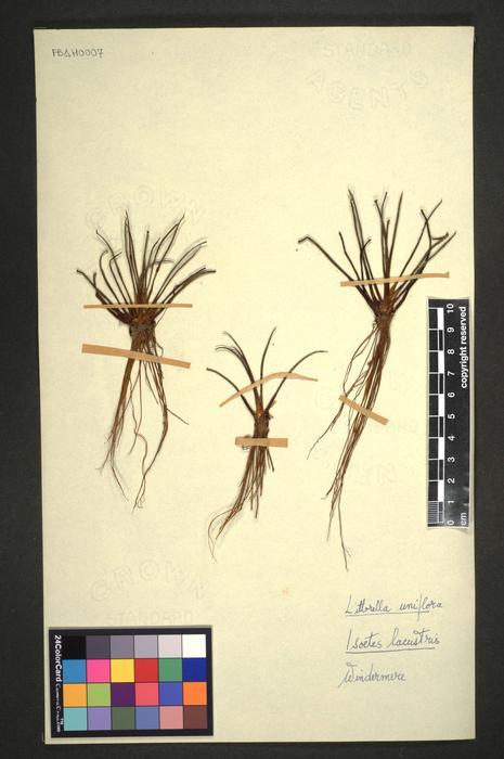 Littorella uniflora