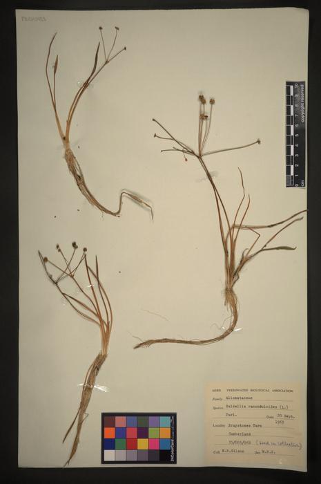 Baldellia ranunculoides