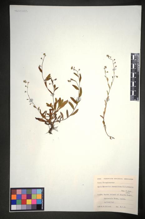 Myosotis laxa subsp. caespitosa