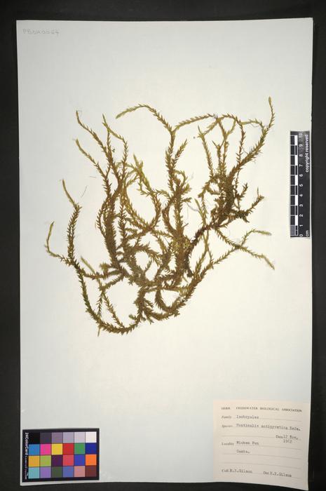Fontinalis antipipyretica