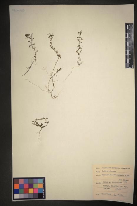 Callitriche obtusangula