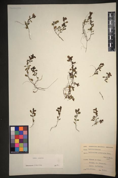 Callitriche platycarpa