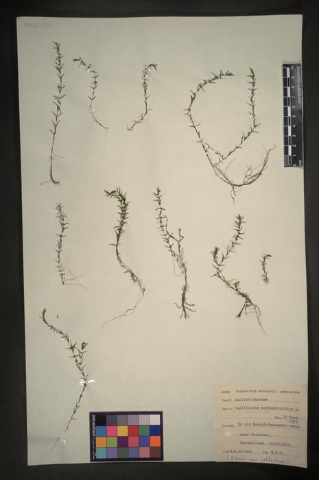 Callitriche hermaphroditica