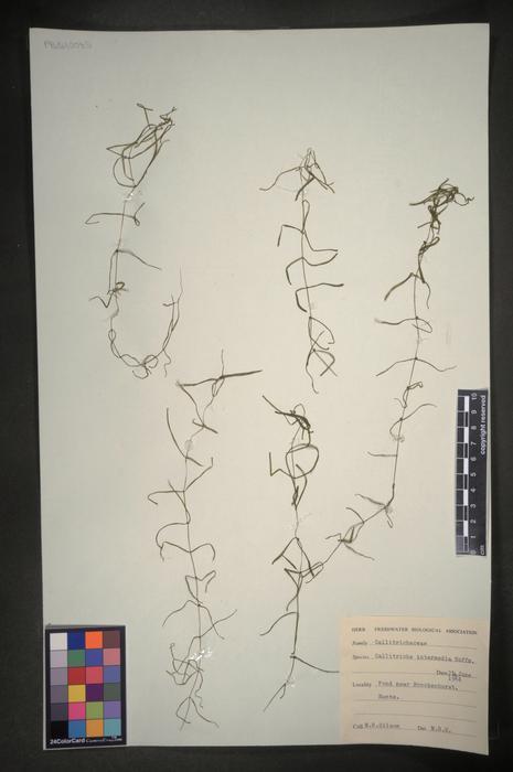 Callitriche hamulata