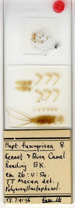 Heptagenia fuscogrisea
