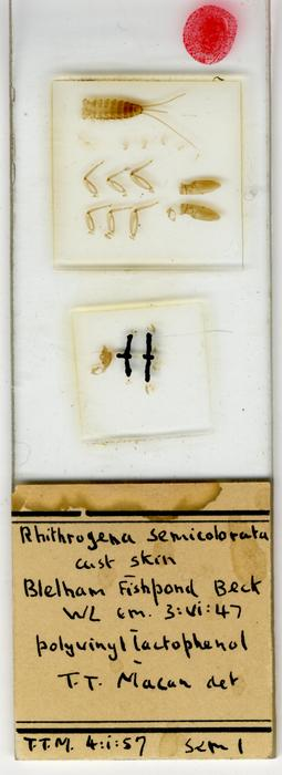 Rhithrogena semicolorata