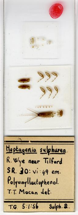 Heptagenia sulphurea