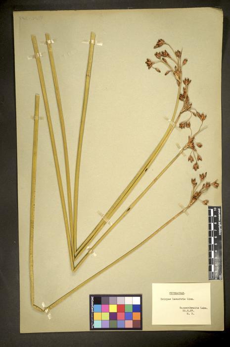 Schoenoplectus lacustris