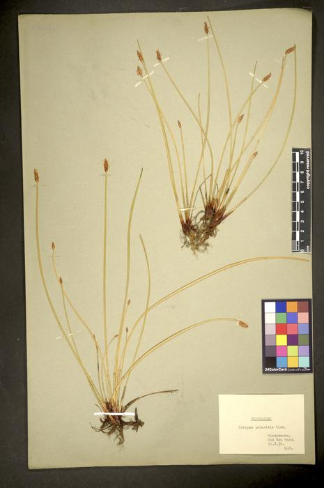 Eleocharis palustris