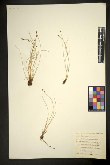Eleocharis quinqueflora