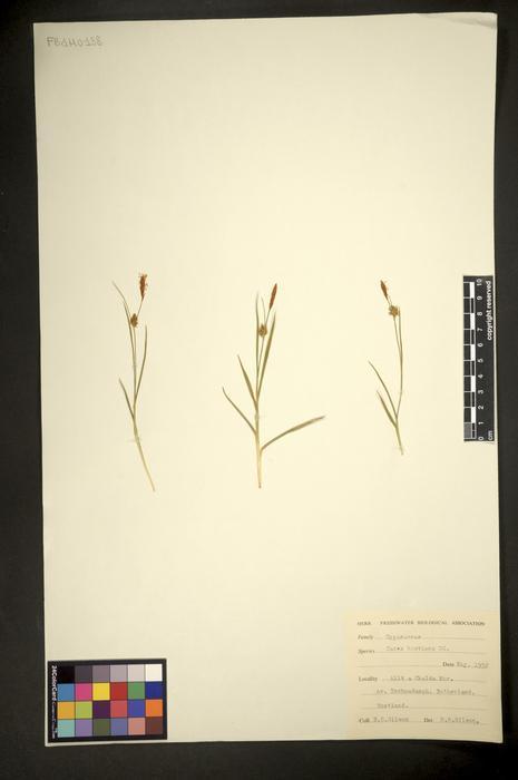 Carex hostiana