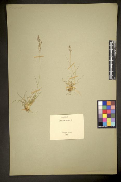 Agrostis canina