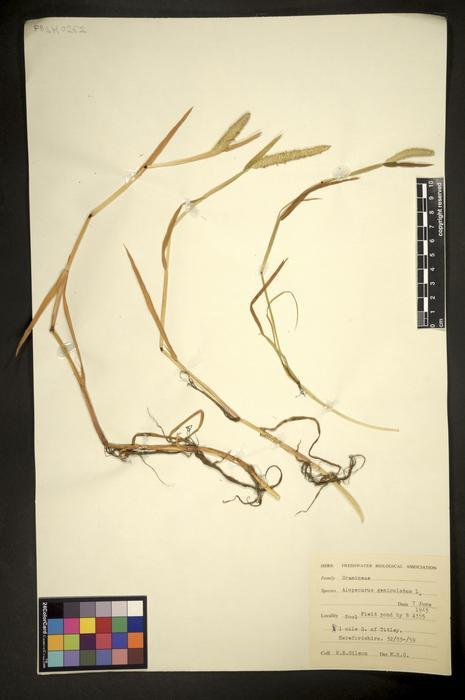 Alopecurus geniculatus