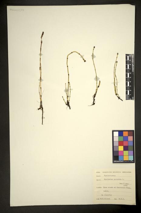 Equisetum palustre