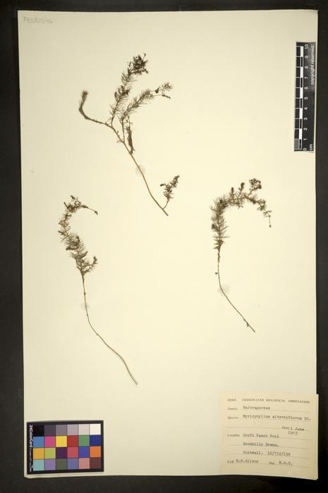 Myriophyllum alterniflorum
