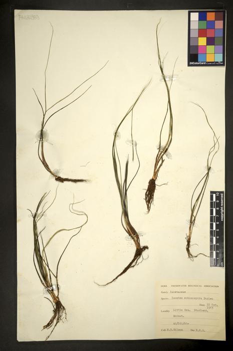 Isoetes echinospora