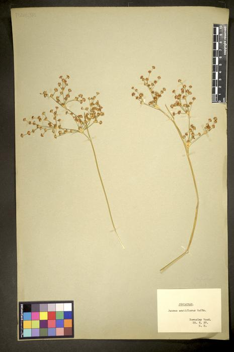 Juncus acutiflorus
