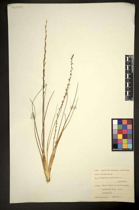 Triglochin palustre