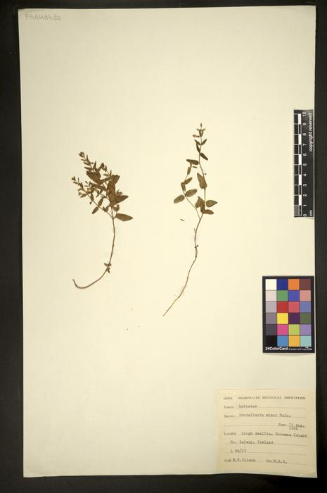 Scutellaria minor