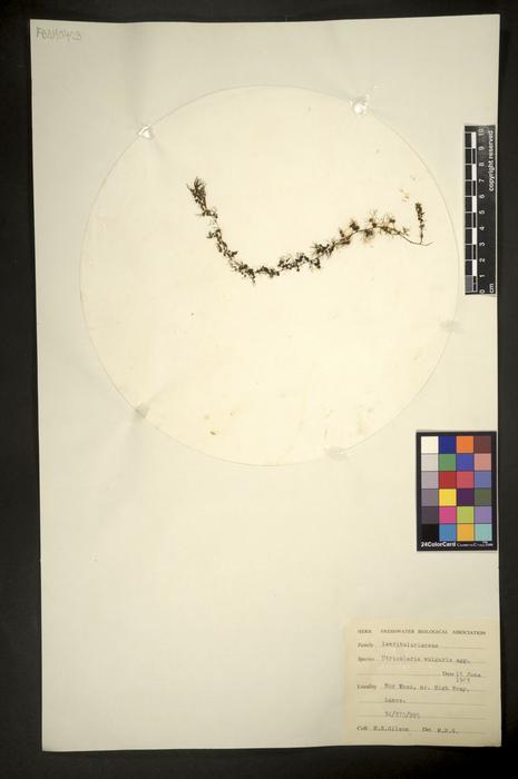 Utricularia vulgaris sens.lat.