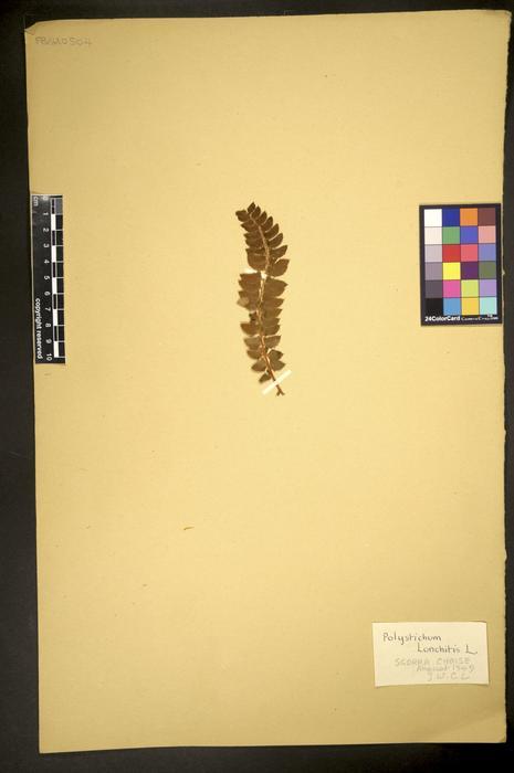 Polystichum lonchitis