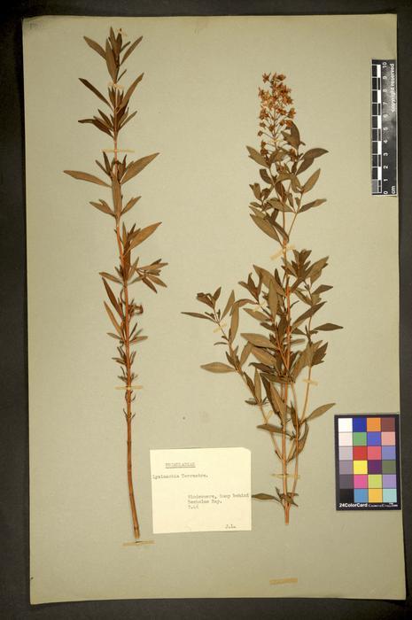 Lysimachia terrestris