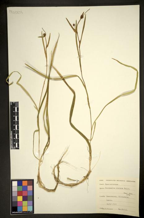Sparganium natans