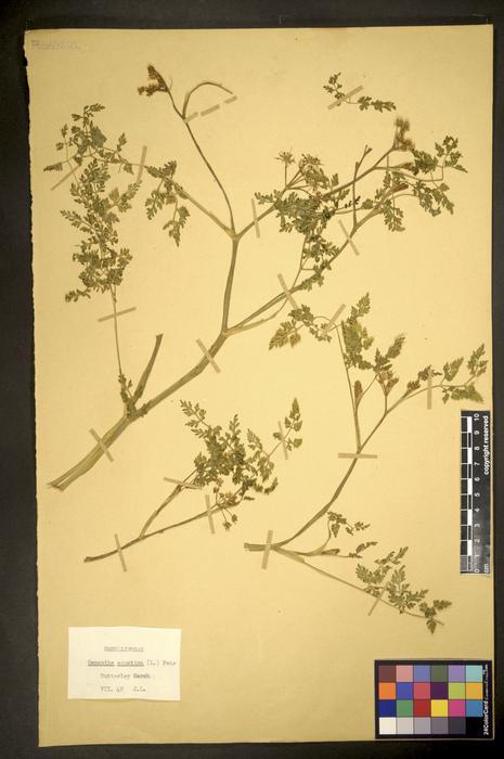 Oenanthe aquatica