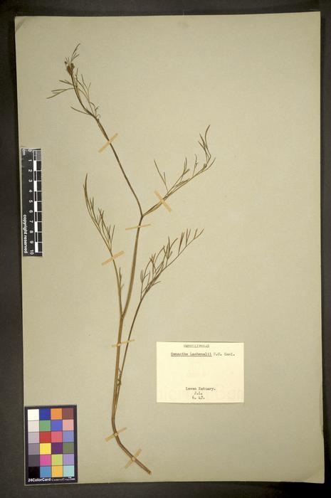 Oenanthe lachenalii