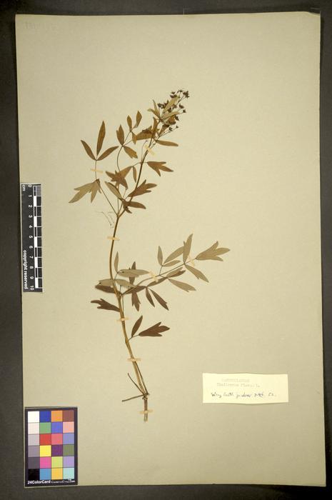 Thalictrum flavum