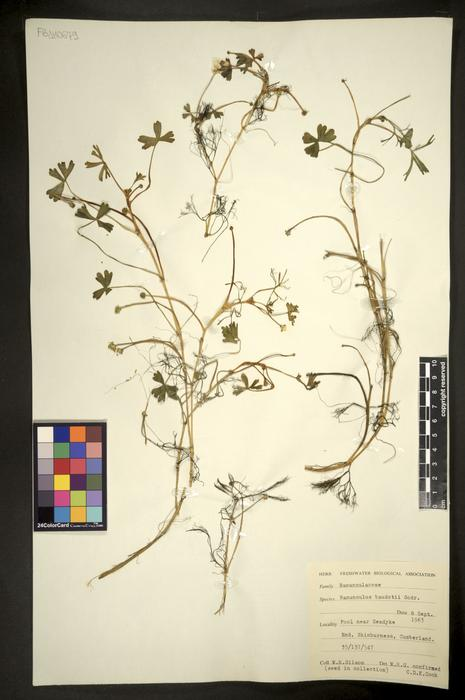 Ranunculus baudotii