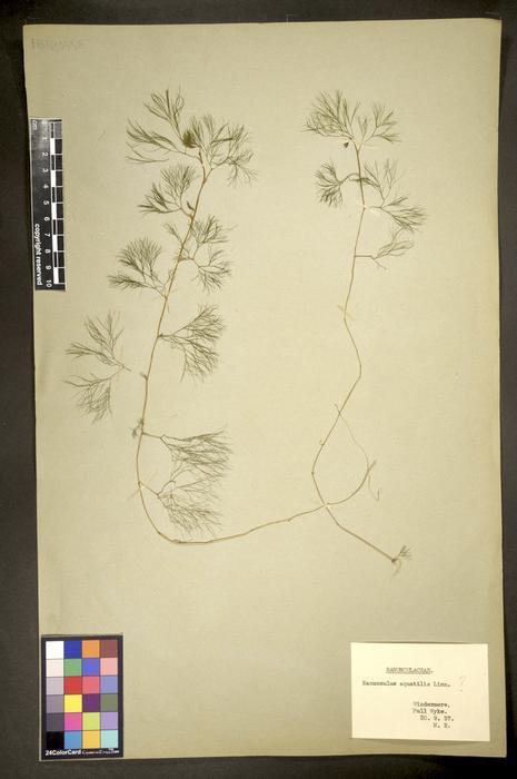 Ranunculus aquatilis
