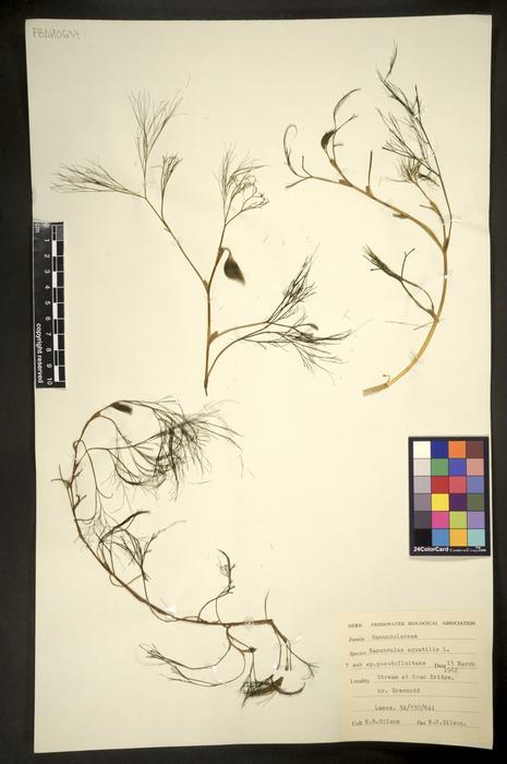 Ranunculus penicillatus subsp. pseudofluitans
