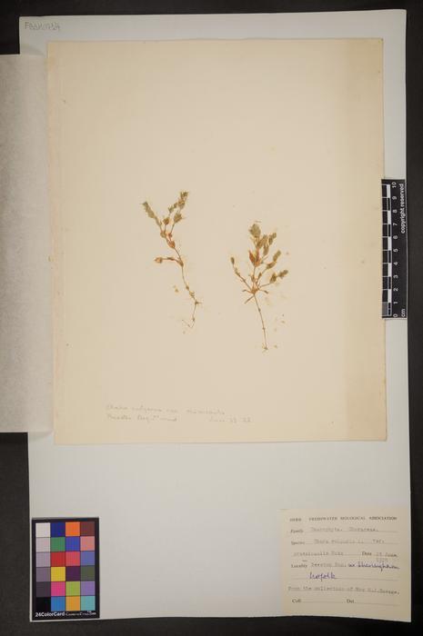 Chara vulgaris var. crassicaulis
