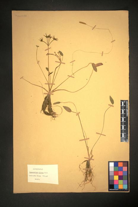 Damasonium alisma